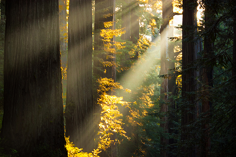 Giant Redwoods of California